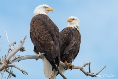 Bald Eagle lovebirds