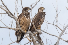 Young Bald Eagles keeping watch