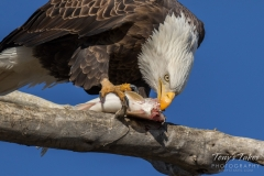 Bald Eagle enjoys breakfast