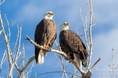 Bald Eagle pair in the morning light