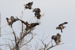 Bald Eagles leap into flight
