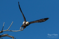 Bald Eagle leaps into action