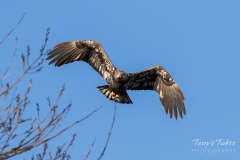 Juvenile Bald Eagle head on