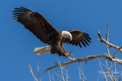 Bald Eagle nails the landing
