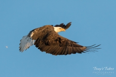 Bald Eagle flight