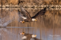 Bald Eagle snags a meal