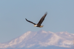 Bald Eagle and the Rocky Mountains