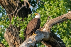 Bald Eagle in the morning sun
