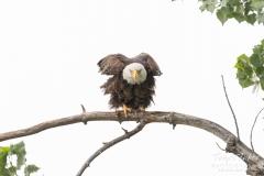 Bald Eagle looks grumpy