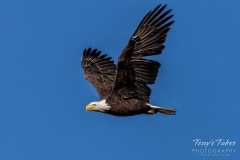 Bald Eagle with wings high