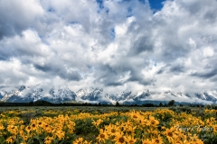 Wildflowers and snow in the Tetons