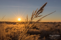 Amber grasses at sunrise