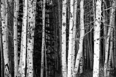 Black and white aspen