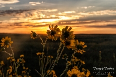 Wild sunflowers greet the sunrise