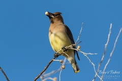 Cedar Waxwing with a snack