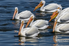 American White Pelicans on blue water