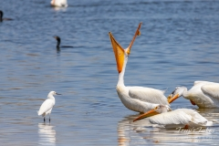 Pelican shows off to an Egret