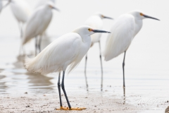 Snowy Egrets on the shore