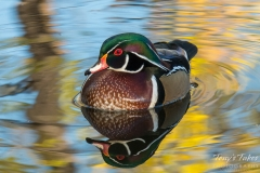 Wood Duck drake in the fall