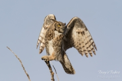 Great Horned Owl leaps into action