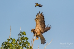 Kingbird vs Swainson's Hawk