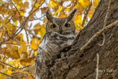Great Horned Owl and the colors of fall