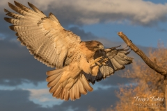 Red Tailed Hawk prepares to land