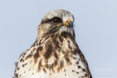 Rough Legged Hawk close up