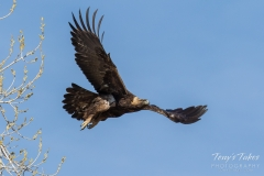 Golden Eagle takes flight