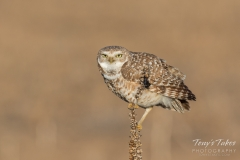 Burrowing Owl keeping close watch
