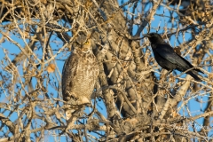 Great Horned Owl endures hassling from crow