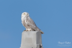 Snowy Owl visits a Colorado farm