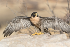Peregrine Falcon spreads its wings