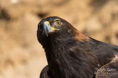 Golden Eagle up close
