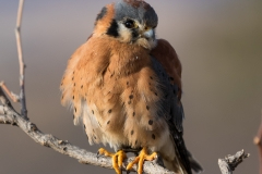 Male American Kestrel poses
