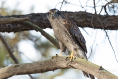 Northern Goshawk keeps watch
