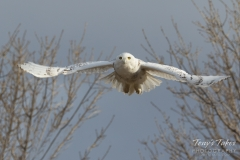 Snowy Owl flies head on