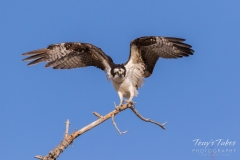 Osprey makes the landing