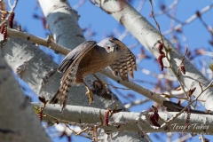 Cooper's Hawk launch