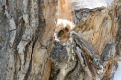 Peering Great Horned Owl owlet