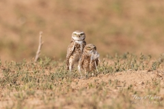 Burrowing Owl pair with their meal