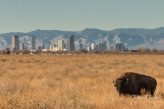 Bison and the Mile High City