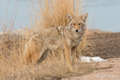 Male Coyote keeping watch