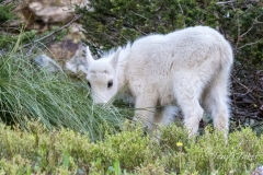 Mountain Goat kid has a snack