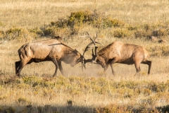 Elk bulls clash head on