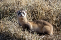 Black-footed Ferret keeps watch