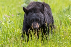 Head on with a Black Bear