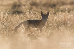 Backlit Swift Fox