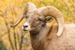 Bighorn Sheep ram in the fall foliage