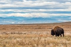 Bison bull in the shadows of the Rocky Mountains